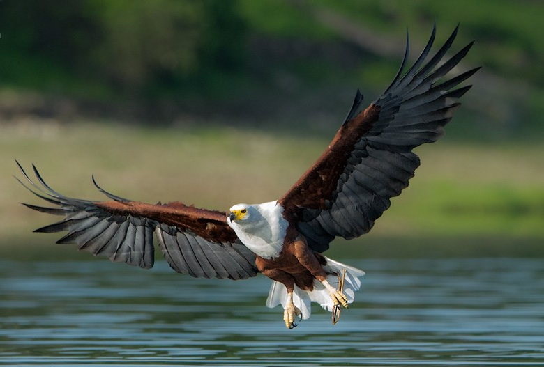 Graceful eagle
